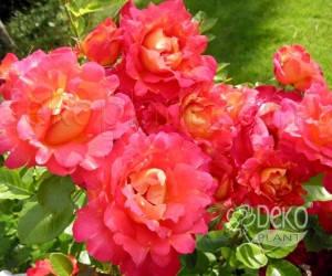 Саженцы Роза Decor Arlequin (Декор Арлекин) (лучшая цена купить оптом и в розницу)
