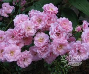 Саженцы Роза Pink Fairy (Пинк Фэйри) (лучшая цена купить оптом и в розницу)