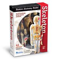 Скелет человека - анатомическая модель от Learning Resources