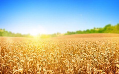 Семена пшеницы озимой Благодарка Одесская. (1 репродукция)