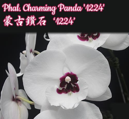 """Уценка Орхидеи. Сорт Charming Panda '1224' , размер 3"""""""