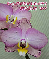 """Орхидеи. Сорт Phal. Miki Pink Bubble '1744' , размер 2.5"""" без цветов"""