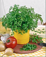 КЕРВЕЛЬ, семена зерна КЕРВЕЛЯ органические для проращивания 15 грамм