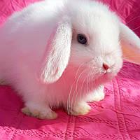 Карликовые вислоухие крольчата, фото 1