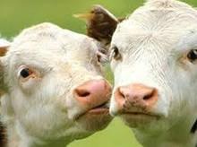 Комбикорм,корм для коров, бычков