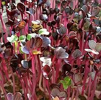 РЕДИС Фиолетовый Микрозелень , семена зерна редиса фиолетового органические для проращивания 10 грамм, фото 1