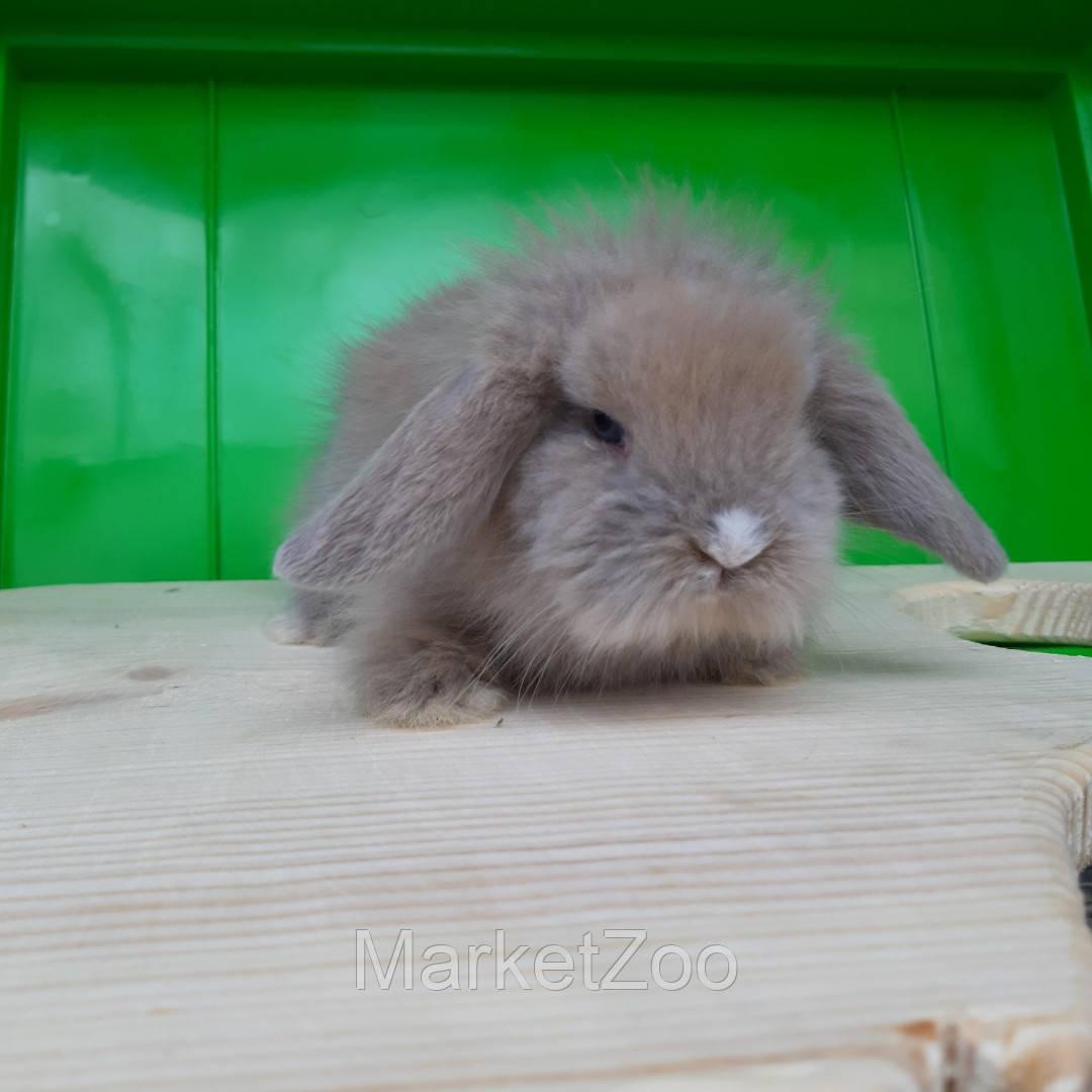 Карликовый вислоухий кролик лилового окраса