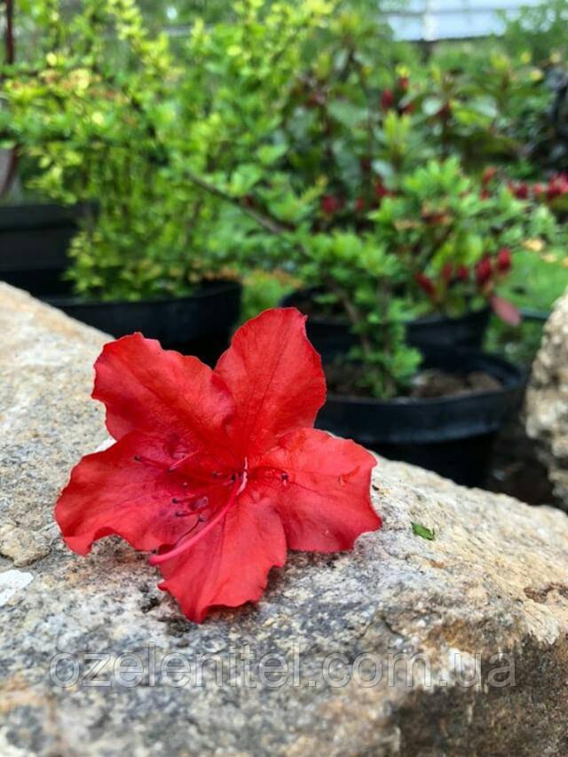 "Азалия японская 'Арабеск' Azalea japonica Arabesk"" (Rhododendron) С5"