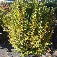 Самшит вечнозеленый/ Buxus sempervirens с7,5