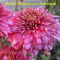 Хризантема корейская ГИБРИД (маточник), фото 1