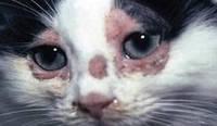 Лишай у кошек, лечение в домашних условиях.