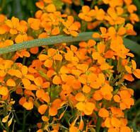 Эриземум гарненький Altgold, фото 1