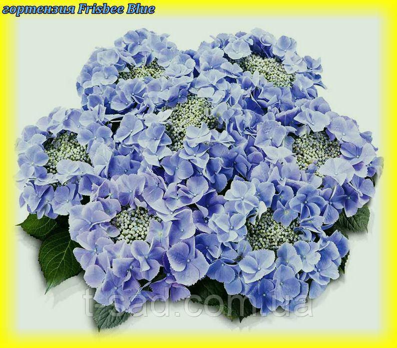 Гортензія крупнолистная Frisbee Blue(Фризбі Синій) новинка