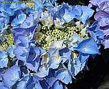 Гортензія крупнолистная Frisbee Blue(Фризбі Синій) новинка, фото 3