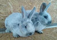 Продаю племенных кроликов породы Европейское серебро (БСС, Шампань, Большое Св