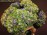Гортензия крупнолистная Magical® Coral Blue (Голубой Коралл) 3год, фото 4