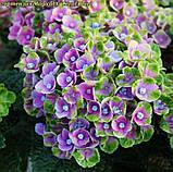 Гортензия крупнолистная Magical® Coral Blue (Голубой Коралл) 3год, фото 5
