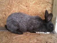 Продаю племенных кроликов породы Полтавское серебро