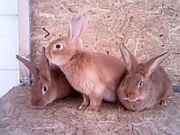 Продам чистокровных кроликов мясной породы – Бургундец