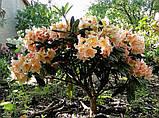 Рододендрон Flautando 3год, фото 2