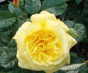 Саженцы Роза Golden Gate (Голден Гейт) (лучшая цена купить оптом и в розницу)