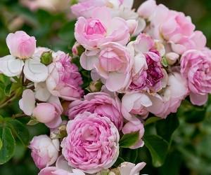 Саджанці Троянда Jasmina (Жасмину) (краща ціна купити оптом і в роздріб)