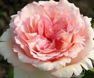 Саженцы Роза Souvenir de Baden-Baden (Сувенир де Баден-Баден) (лучшая цена купить оптом и в розницу)