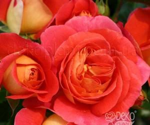Саженцы Роза Gebruder Grimm (Гербрюдер Гримм) (лучшая цена купить оптом и в розницу)