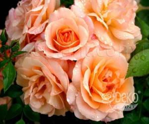 Саженцы Роза Aprikola (Априкола) (лучшая цена купить оптом и в розницу)