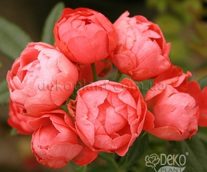Саженцы Роза Morsdag Orange (Морсдаг Оранж) (лучшая цена купить оптом и в розницу)