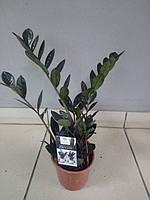 Горшечное растение Черный замиокулькас (Zamioculcas RAVEN) Долларовое дерево