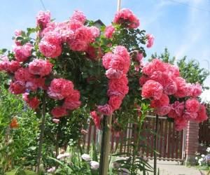 Саженцы Роза Morsdag Pink (Морсдаг Пинк) (лучшая цена купить оптом и в розницу)