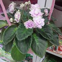 Горшечное растение Фиалка