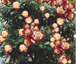 Саженцы Роза Double Delight (Дабл Делайт) (лучшая цена купить оптом и в розницу)