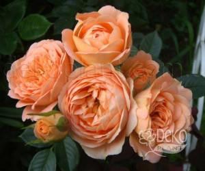 Саженцы Роза Sweet Dream (Свит Дрим) (лучшая цена купить оптом и в розницу)