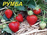 """Земляника садовая (КЛУБНИКА) """"Румба"""" (ЗКС) tray"""