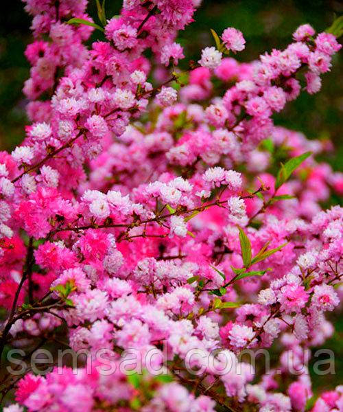 Сакура Пинк Перфекшен \ Prunus 'Pink Perfection' ( саженцы привитые на корень 110-150cm) ОКС