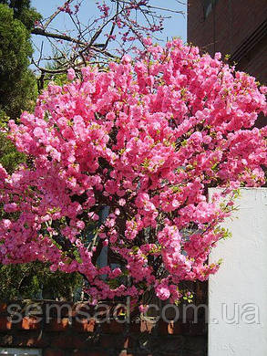Сакура Пинк Перфекшен \ Prunus 'Pink Perfection' ( саженцы привитые на корень 110-150cm) ОКС, фото 2
