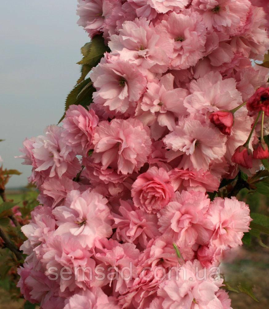 Сакура Канзан  \ Prunus Kanzan ( саженцы привитые на корень 110-150cm) ОКС