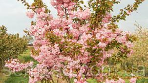 Сакура Канзан  \ Prunus Kanzan ( саженцы привитые на корень 110-150cm) ОКС, фото 2