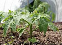 Рассада помидоров: высадка в теплицу