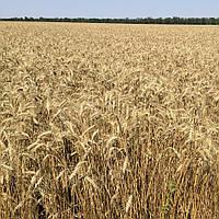 Антоновка пшеница озимая