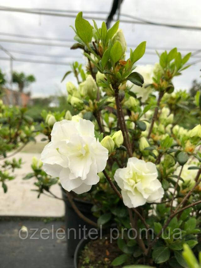 Азалия японская 'Шниперл' Azalea japonica'Schneeperle' (Rhododendron) С5