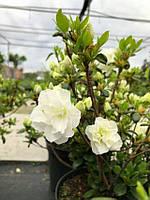 Азалия японская 'Шниперл' Azalea japonica'Schneeperle' (Rhododendron) С5, фото 1