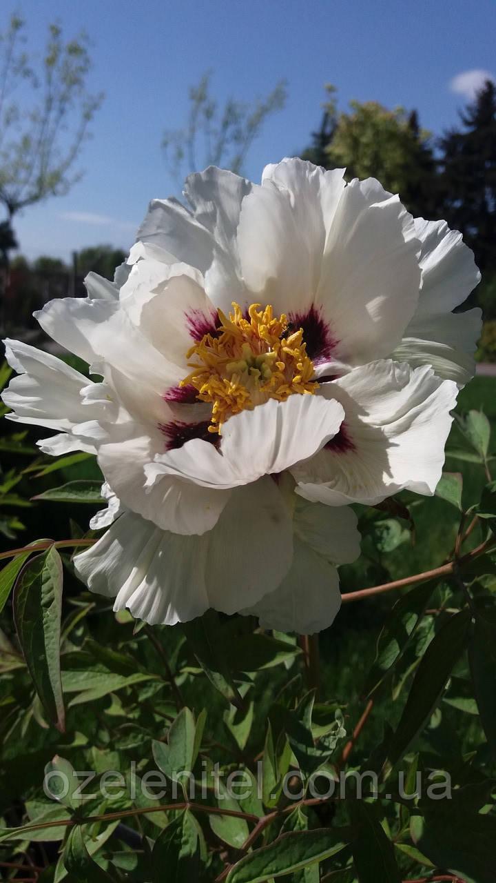Пион древовидный/ Paeonia x suffruticosa  с7,5