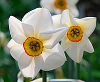 Нарцисс Поэтические (Poeticus)(выкопанные живые растения)