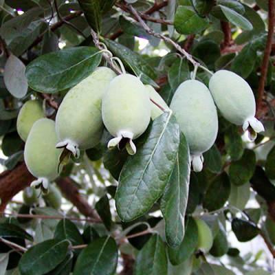 Саженцы Фейхоа (Acca sellowiana)