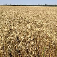 Антоновка озимая пшеница