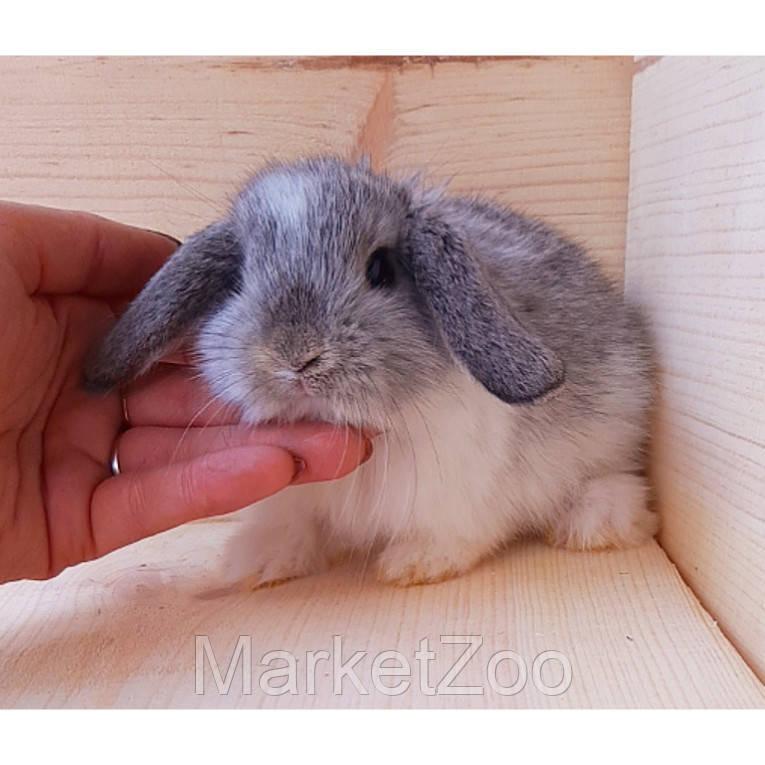 """Карликовый вислоухий кролик окрас """"серебро"""""""