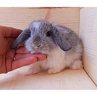 """Карликовый вислоухий кролик окрас """"серебро"""", фото 1"""